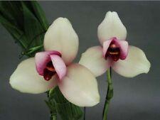 Orquídea Lycaste rakuhoku tamaño grande flor fragante