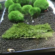 Fissidens Fontanus on Slate Rock Stone Fissiden Moss Apf Aquarium Plants Factory