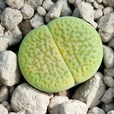 Lithops hookeri var. dabneri 'Annarosa' 20 seeds