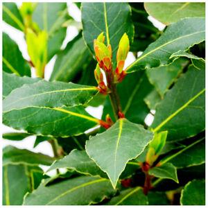 Laurus nobilis / Bay tree in 1.5L Pot, Cooking Bay Leaf Tree Plant