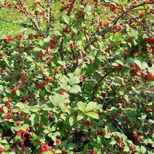 Prunus tomentosa - Cerisier tomenteux de Nankin - Ragouminier