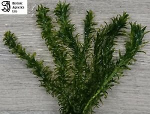 20 Stems (4 Bunch of 5) x Pond Weed - Oxygenating Live Plant - ELODEA DENSA
