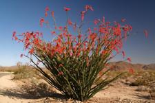 1 Cutting, Exotic Ocotillo Fouquieria splendens Palo Adan Slimwood Desert Cactus