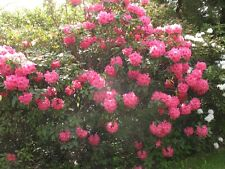 Rhododendron Hallelujah  - #1 Container Plant  - Pink Blooms - Hardy to -10