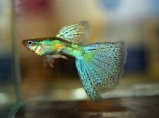 Pair of Emerald Blue - Red Grass Guppy (Poecilia reticulata, Livebearer)