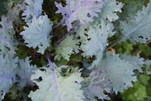 1000+ Dwarf Kale Seeds - Mixed Kale - Grows fast - Cheap