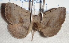 Erebidae Spiloloma lunilinea Indiana #H71 Moth Insect Butterfly