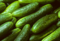 Garden Sweet Cucumber Seeds, BURPLESS, Organic, NON-GMO, Variety Sizes