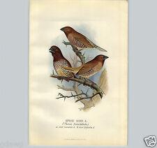 1899 Spice Finch Bird Lithograph Litho Book Plate F W Frohawk Artist