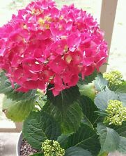 Hydrangea macrophylla 20 potted plants Mopheads lacecaps all colours