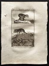 1799 - Buffon - Le loris, le maki nain rat de Magadascar - Gravure