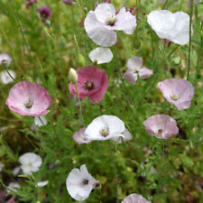 Silk Poppy - Mother of Pearl - 25+ seeds - Spectacular Flowers!