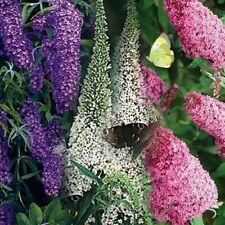 Butterfly Bush (Buddleia Davidii) Mix- 50 Seeds -
