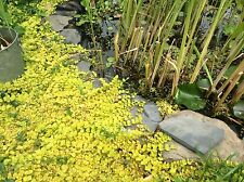 POND PLANT CREEPING JENNY  PLANT AQUATIC PLANT 1-cutting ready For you to Root
