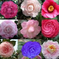 20PCS Camellia Seeds Burgundy Hedge Flowers Tree Plant Shrub Japonica Sasanqua