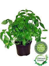 Basilikum Pflanze, Ocimum basilicum
