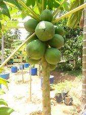 Papaya seeds 10 pieces
