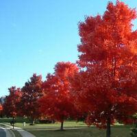 Roter japanischer Fächerahorn 10 Samen Acer palmatum #JS0085&Hot
