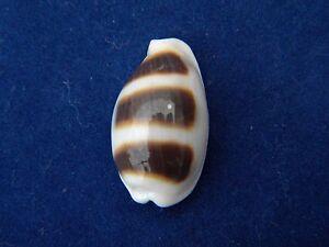 Sea Shells Cypraea asellus / Asellus Cowrie 22mm ID#3617B