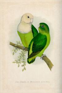 WT Greene Parrots in Captivity Greyheaded or Madagascar Lovebird Wildlife Print