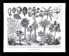 1874 Bilder Botanical Print Tropical Palm Trees & Fruits Coconut Arecale Botany