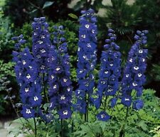 PERENNIAL FLOWER DELPHINIUM DARK BLUE WITH WHITE BEE 60 SEEDS