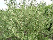 Korallen-Ölweide/ca. 50 Samen/Hecke oder Kübelpflanze/Winterhart