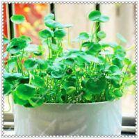 200 pcs/bag Gotu kola Seeds High Germination Rate bonsai plant home garden