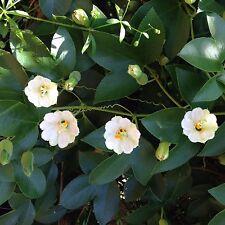 Passiflora mathewsii cv. Alba 6 Seeds