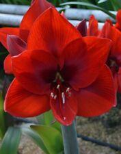 Amaryllis Hippeas Carmen X Amaryllis Hippeas GERVASE 10 Graines 10 Seeds