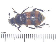 Coleoptera Silphidae Nicrophorus dauricus Russia, Ussuri region