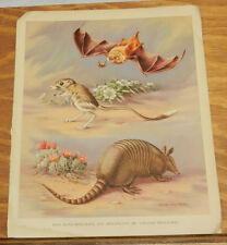 1934 Antique Print//BATS, KANGAROO RATS AND ARMADILLOS