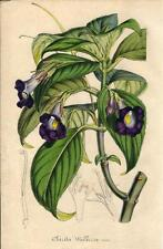 Stampa antica FIORI Chirita walkeriae botanica 1847 Old antique print flowers