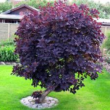 1 COTINUS COGGYGRIA 'ROYAL PURPLE' SMOKE BUSH DECIDUOUS SHRUB HARDY PLANT IN POT