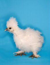 METAL REFRIGERATOR MAGNET Chinese Silkie Chicken aka Silk White