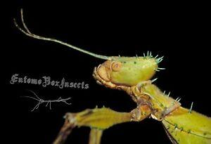 EXTATOSOMA TIARATUM ♂♀ 12 Huevos / Eggs - Stick insect / Insecto hoja, Fásmidos