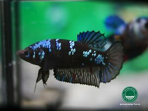 Black Blue HMPK female betta #0776 / 3.5 mo / nice form / virgin / rare color