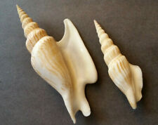 Two Strombus: S. listeri (117mm) and S. vittatus apicatus (82mm), both in excell