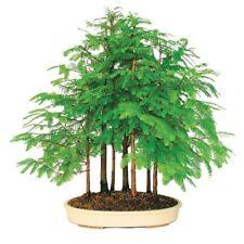 Urweltmammutbaum Metasequoia glyptostroboides Mammutbaum Bonsai 50 Samen