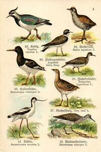 1910  SCHREIBER ATLAS CHROMO Birds: sandpiper, oystercatcher, lapwing, plover