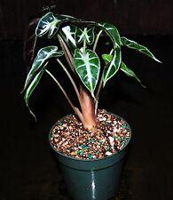 """Alocasia BAMBINO Rare Dwarf Elephant Ear Tropical Houseplant or Terrarium 4"""" Pot"""