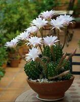 succulent plant cactus plant 1 gallon size Echinopsis Easter Lily cactus large clump round cactus