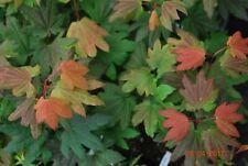 Japanese Maple Burgundy Jewel