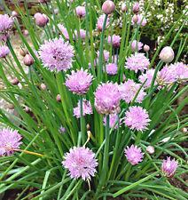 ERBA CIPOLLINA 100 SEMI Allium Schoenoprasum chives pianta erba aromatica