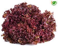 Lechuga Hoja de roble ** Red Salad Bowl  ( 600 semillas ) seeds