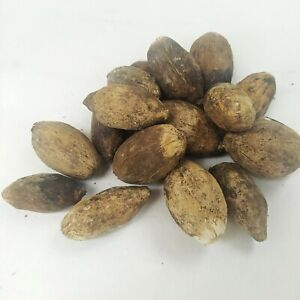 Dried Young Betal Nuts Areca Catechu 100% Free Priority Shipping Sri Lanka