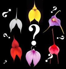 Masdevallia_Mystery_inten sely colorful orchids cool/intermediate
