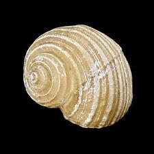Tonna Cepa Resin Sea shell 9x8cm for aquarium decoration or garden crafts