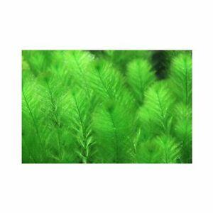 Live Aquarium Aquatic Plant Filigree Milfoil Myriophyllum Simulans Bunch