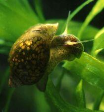 15 x Lumaca lumache acquario laghetto stagno acqua dolce physa marmorata